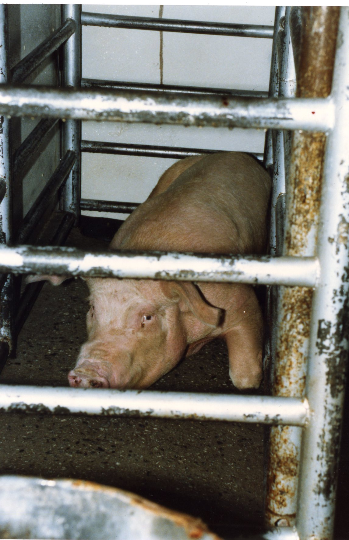 工厂化养殖场的动物不断地被喂食药品