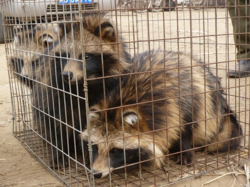 Caged-raccoon-dogs-2-506x379