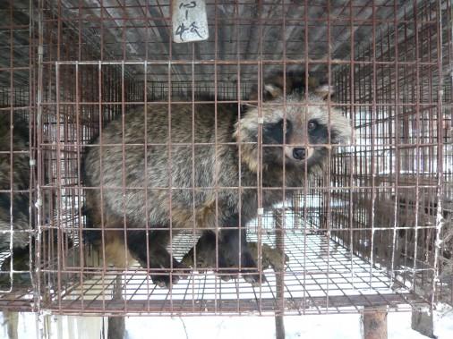 China-Fur-Investigation-male-raccoon-dog-506x379