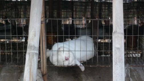 Rabbit-farm-in-Xi-Gau-Kou-Cun-Shangcunzhe-Suning-Feb-17-Dead-rabbit-in-cage-506x284