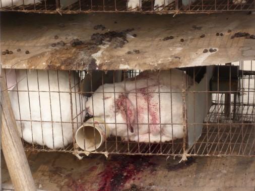 Rabbit-farm-in-Xi-Gau-Kou-Cun-Shangcunzhe-Suning-Feb-17-Injured-rabbit-in-cage-506x379