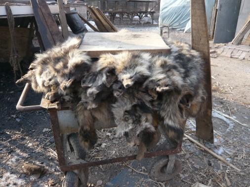 Raccoon-dogs-pelts-on-trolley-506x379