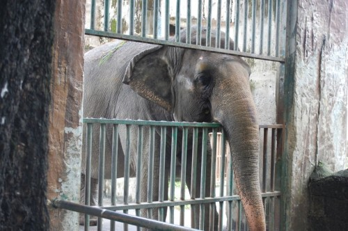 Mali, Manila Zoo, October 2012 (69)