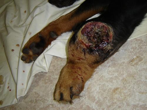 """狗狗""""莎夏""""的腿遭咬伤后严重感染"""