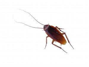 Cockroach1-300x225