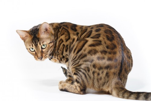 Bengal Cat looking back