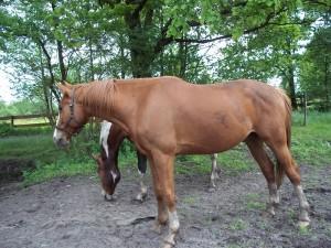 Horse-CNY-300x225
