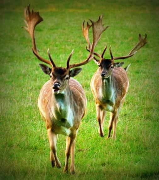 Deer Couple running towards Viewer