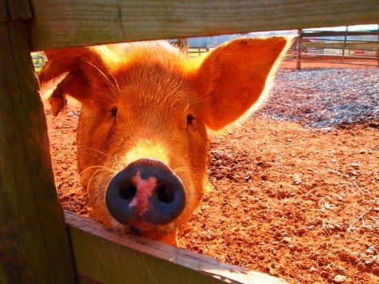 Pig1.jpg-550x0