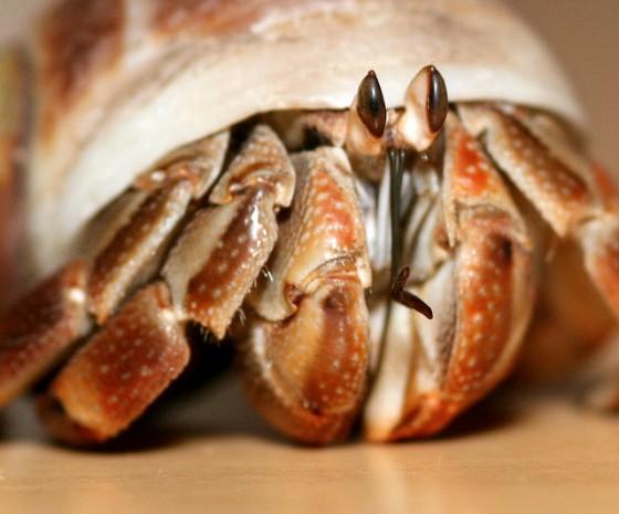 hermit-crab-closeup
