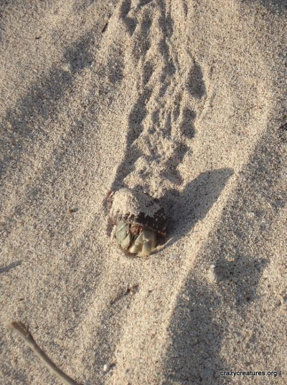 hermit-crab-in-sand