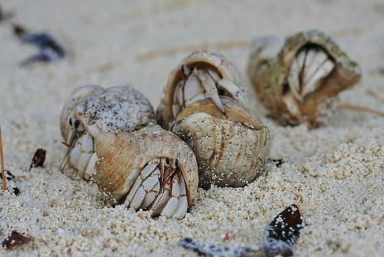 hermit-crabs-in-group-flickr