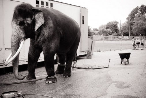 Black-and-White-Circus-Elephant-Canada
