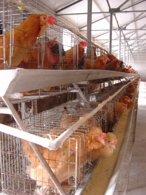 Close up up egg laying chickens in cages.