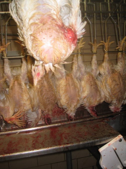 chicken slaughter