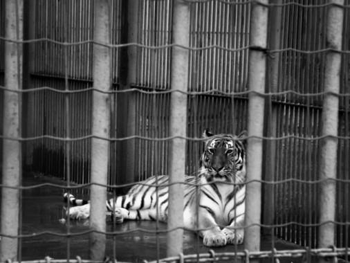 Tiger_TianjinRiversidePark_120714