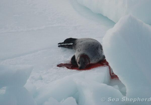 促请加拿大结束他们可耻的海豹大屠杀