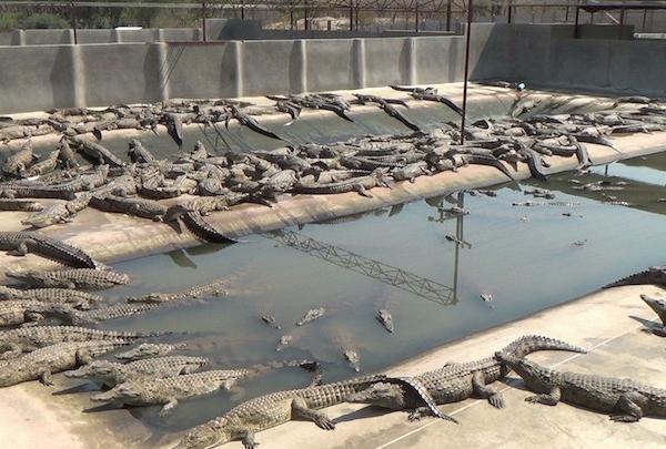 为制作LV皮包,鳄鱼在越南被切开、剥皮