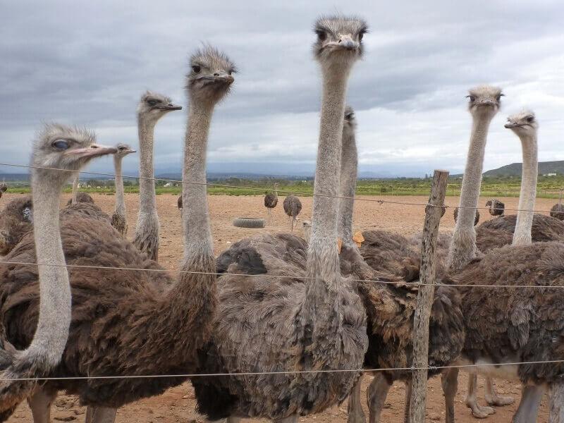 这些聪明的鸵鸟在枯燥乏味的饲养场上被赶到一处,即将被运送到屠宰场。