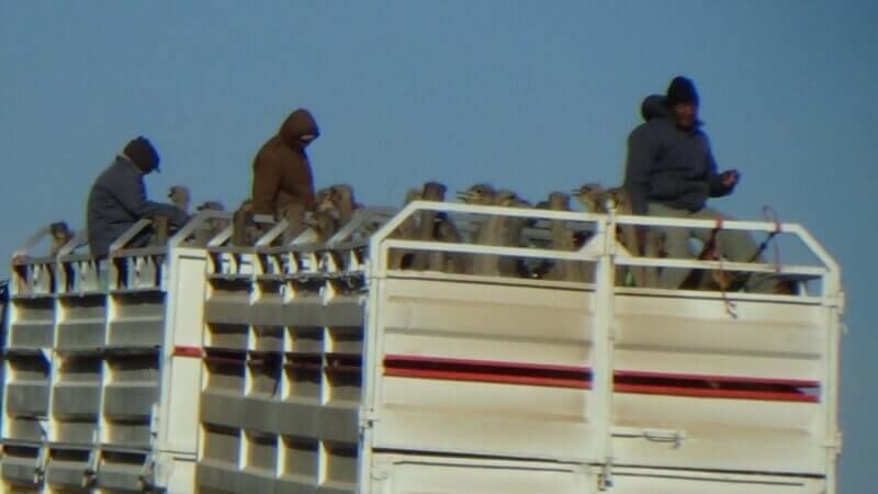 吓坏了的鸵鸟被塞进拥挤的无顶棚卡车中,踏上前往屠宰场的骇人旅程。