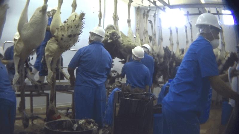 在鸵鸟的喉咙被划破后不久,工人就会将羽毛从一排尸体上扯下。
