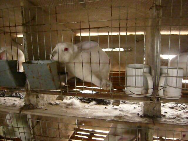 Limping-rabbit-with-hurt-hind-leg.-