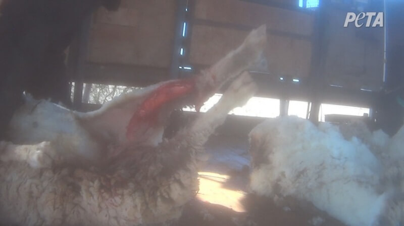 Fast, rough shearing left sheep like this one cut up and bleeding. The eyewitness did not see the animals provided with any pain relief or veterinary care.