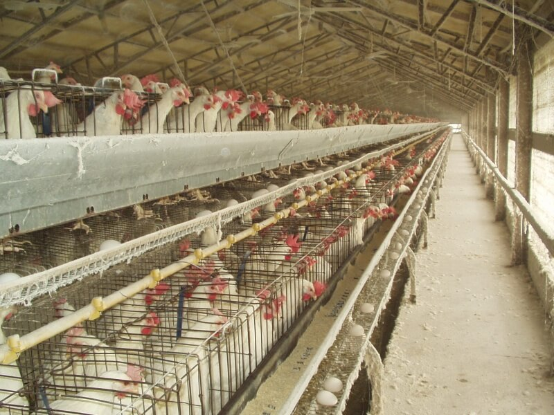 long row of hens in cages, eggs distributed along holder
