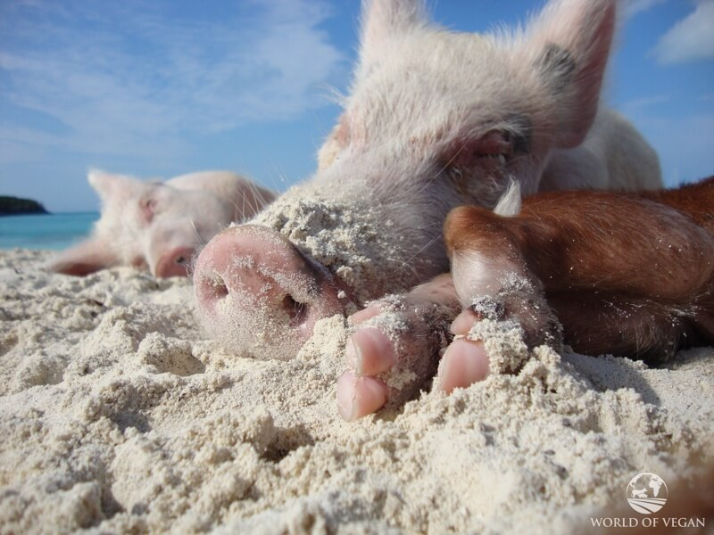 pigs-6