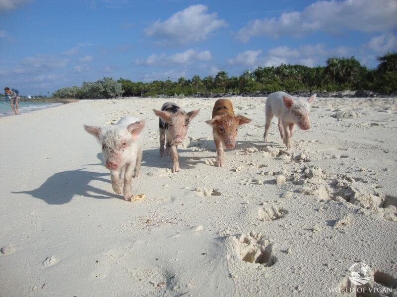 swimming-pigs-2