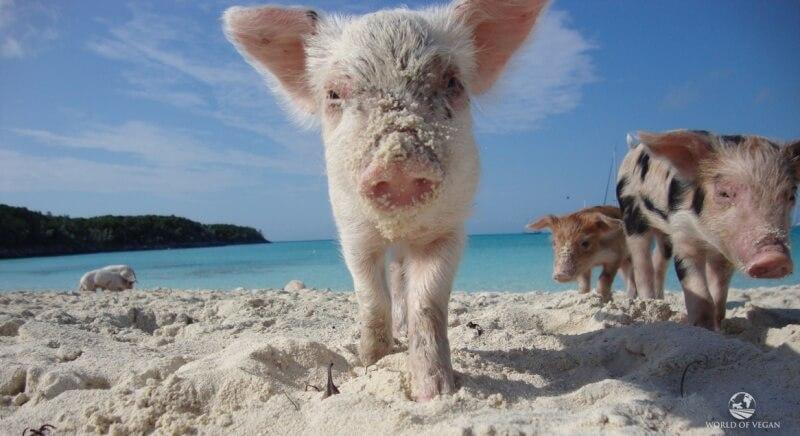 swimming-pigs-caribbean-1