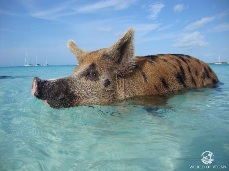 swimming-pigs-caribbean