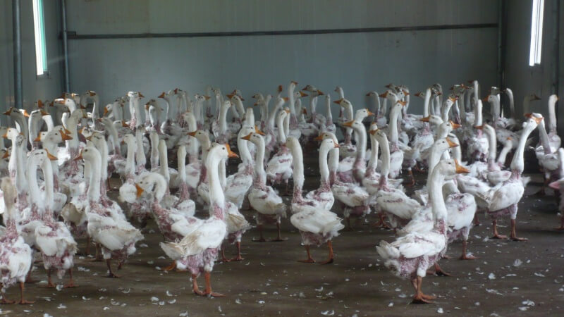 Geese after feathers plucked for down at a feather farm in China.