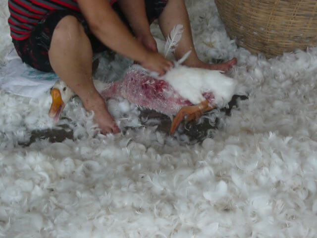 Goose having feathers plucked for down at China feather farm.