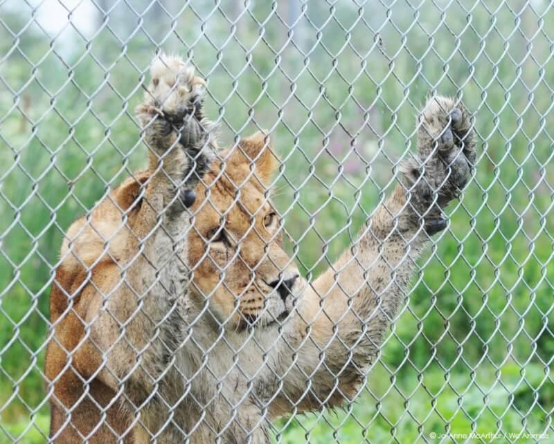 Sad-Lion-At-Zoo1