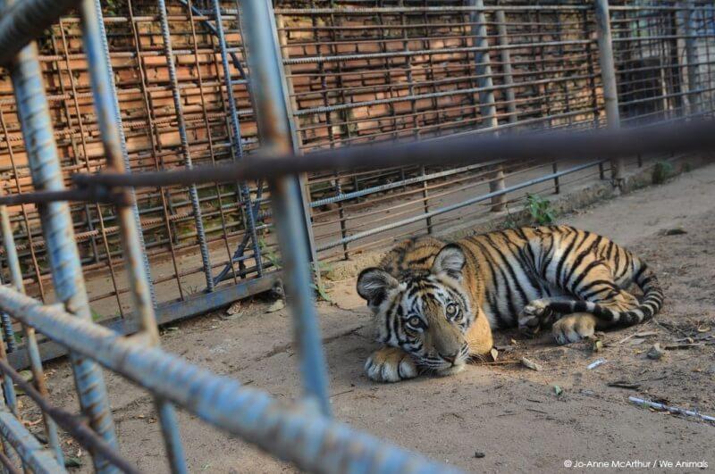 Tiger-at-Zoo