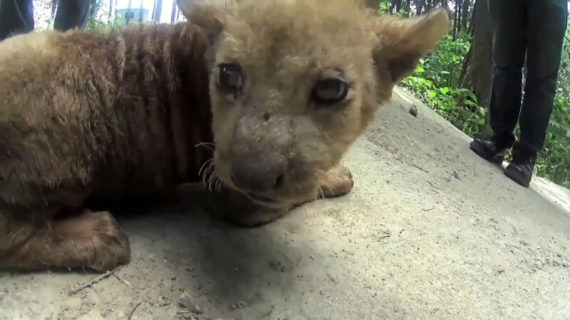 chinese_circus_investigation_suzhou_big_cats_peta_asia_c3_YouTubeHD (1080P)-small