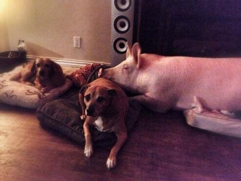 esther-wonder-pig-dogs-493x370