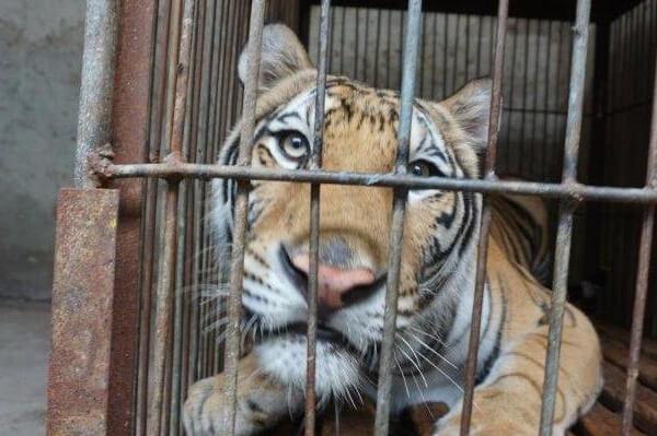 PETA调查揭露宿州马戏团虐待老虎和狮子