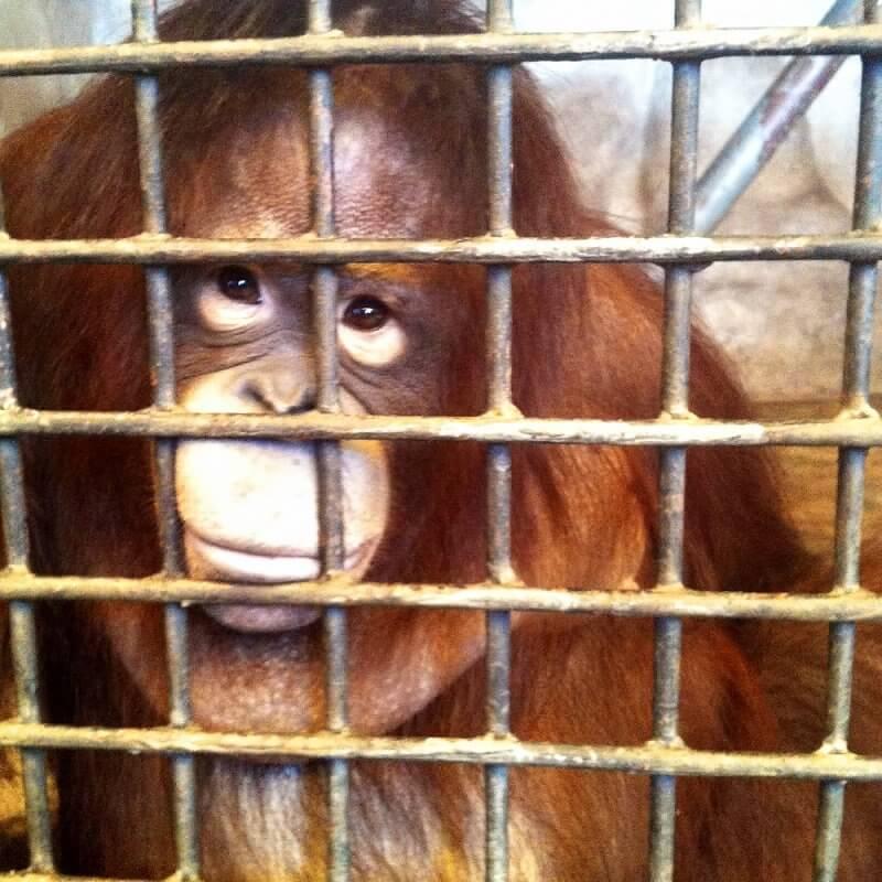 orangutan-