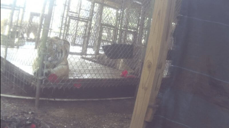 photo-16_tiger-staring-small-cage
