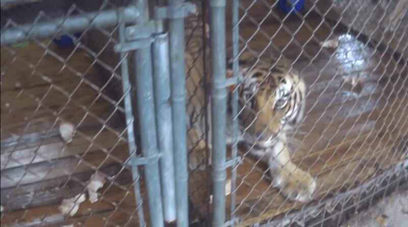 photo-17_tiger-looking-small-cage