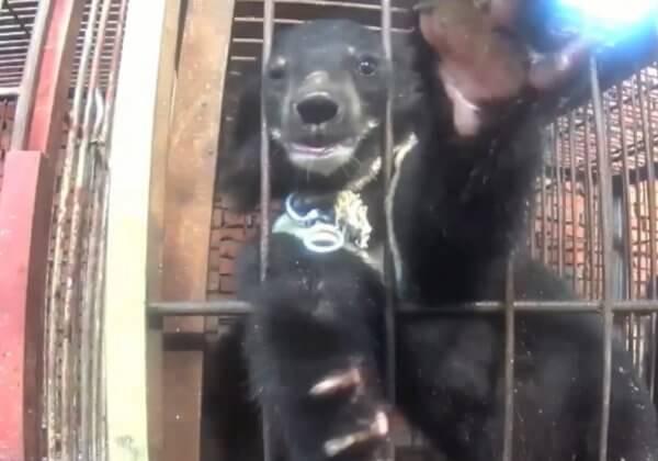小熊在马戏训练中被勒住脖子吊起,画面令人心碎