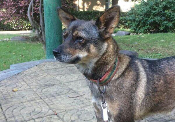 狗狗被殴打被强迫拉车,现已被PETA成功解救