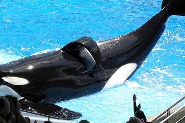 在被人类囚禁33年后, 虎鲸提里库姆死亡