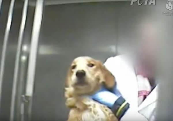 在这家实验室紧闭的门后,狗狗们经历了什么?