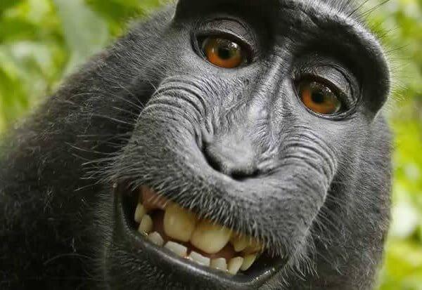 猕猴自拍版权案尘埃落定,为什么这场旷日持久的官司很重要?