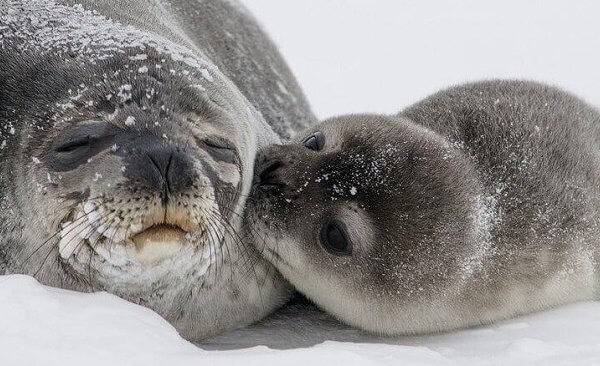加拿大屠杀海豹被洗白怎么破?你得先读懂这8件事
