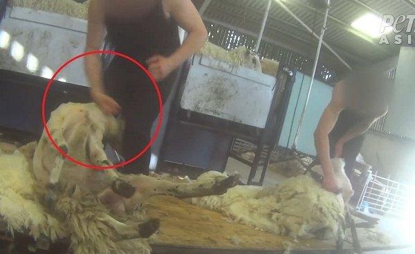 透视内幕:英格兰羊毛产业背后的残酷真相