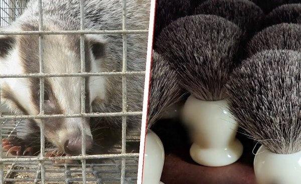 业界首例调查:獾毛刷产业背后的残酷代价